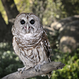 Boreal Owl (Aegolius Funereus), Captive Photographic Print by Michael Kern