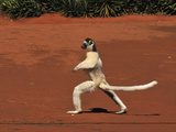 Verreaux's Sifaka Jumping and Walking Locomotion (Propithecus Verreauxi) Photographic Print by Thomas Marent