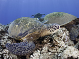 Green Sea Turtles (Chelonia Mydas), an Endangered Species, Hawaii, USA Photographic Print by David Fleetham