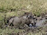 Desert Warthog (Phacochoerus Aethiopicus) Wallowing in Mud Hole, Masai Mara Game Reserve, Kenya Photographic Print by Adam Jones