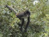 Black-Handed Spider Monkey (Ateles Geoffroyi), Belize Photographic Print by Thomas Marent