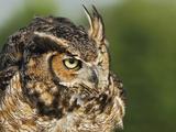 Great Horned Owl, Bubo Virginianus, Captive, Fotoprint van Adam Jones