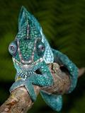 Panther Chameleon (Furcifer Pardalis), Ambanja, Madagascar, Captive Fotografisk tryk af Michael Kern