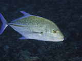 Bluefin Trevally or Jack (Caranx Melampygus), Hawaii, USA Photographic Print by David Fleetham