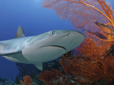 Gray Reef Shark (Carcharhinus Amblyrhynchos), Mana Island, Fiji Photographic Print by David Fleetham