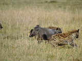 Spotted Hyenas (Crocutcrocuta) Attacking Desert Warthog (Phacochoerus Aethiopicus),  Kenya Photographic Print by Adam Jones