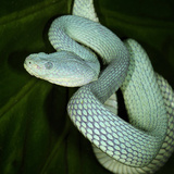 Guatemalan Palm-Pitviper (Bothriechis Bicolor), Captive Photographic Print by Michael Kern