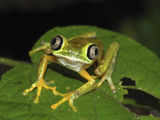Lemur Leaf Frog (Phyllomedusa Lemur), Siquirres, Costa Rica Photographic Print by Thomas Marent