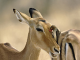 Female Impala (Aepyceros Melampus) with Red-Billed Oxpecker (Buphagus Erythrorhynchus) Photographic Print by Adam Jones
