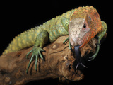 Caiman Lizard (Dracaena Guianensis) Captive Photographic Print by Michael Kern