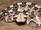 West African Gaboon Viper (Bitis Gabonica Rhinoceros), Captive Photographic Print by Michael Kern