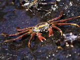 A Sally Lightfoot Crab (Graspus Graspus) Searching for Algae to Dine on in the Intertidal Zone Photographic Print by David Fleetham