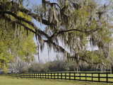 Live Oak Trees Draped in Spanish Moss, Boone Hall Plantation, Mount Pleasant, Christ Church Parish Photographic Print by Adam Jones