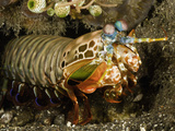 A Peacock Mantis Shrimp (Odontodactylus Scyllarus), Indonesia Photographic Print by David Fleetham