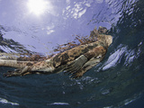 Marine Iguana (Amblyrhynchus Cristatus) Taking a Breath on the Surface Photographic Print by David Fleetham