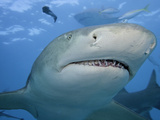 Lemon Shark Head (Negaprion Brevirostris), Bahamas, Atlantic Ocean Photographic Print by David Fleetham