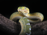 Emerald Tree Boa (Corallus Caninus) Native to Papua New Guinea, Captive Photographic Print by Michael Kern