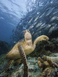 Green Sea Turtle (Chelonia Mydas) Swimming Near a School of Bigeye Jacks (Caranx Sexfasciatus) Photographic Print by David Fleetham
