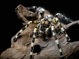 Sir Lankan Ornamental Tarantula (Poecilotheria Fasciata), Captive Photographic Print by Michael Kern