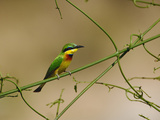 Somali Bee-Eater (Merops Revoilii), Masai Mara Game Reserve, Kenya, Africa Reproduction photographique par Adam Jones