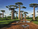 Grandidier´S Baobab (Adansonia Grandidieri), Near Morondava, Madagascar Fotografisk tryk af Thomas Marent