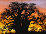 African Baobab Tree (Adansonia Digitata) Silhouetted at Sunset, Tarangire National Park, Tanzania Photographic Print by Adam Jones