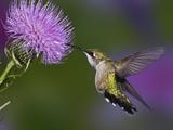 Ruby-Throated Hummingbird in Flight at Thistle Flower, Archilochus Colubris Fotografisk trykk av Adam Jones
