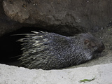 The Malayan Porcupine (Hystrix Brachyura) Photographic Print by David Fleetham