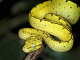 Juvenile Green Tree Python (Morelia Viridis) Indonesia, Papau New Guinea, Captive Photographic Print by Michael Kern