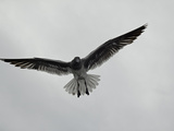 Lava Gull (Larus Fuliginosus) in Flight over Santa Cruz Island Photographic Print by David Fleetham