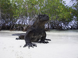Marine Iguana (Amblyrhynchus Cristatus) Photographic Print by David Fleetham