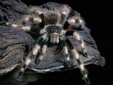 Brazilian Black and White Tarantula (Nhandu Coloratovillosus), Captive Photographic Print by Michael Kern