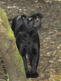 Black Jaguar or Panther (Panthera Onca), Belize Photographic Print by Thomas Marent