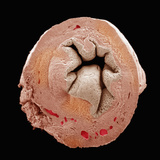 Cross Section of the Uterus Part of the Female Reproductive System Photographic Print by Richard Kessel