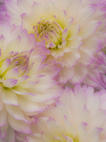 Dahlia Flowers, Birmingham, Al Photographic Print by Adam Jones