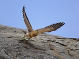 Common Kestrel (Falco Tinnunculus) in Flight, Serengeti National Park, Tanzania, Africa Photographic Print by Adam Jones