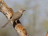 Curve-Billed Thrasher (Toxostoma Curvirostre), Sonoran Desert, Arizona, USA Photographie par Don Grall