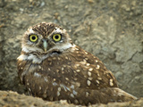 Burrowing Owl (Athene Cunicularia), USA Photographic Print by Michael Kern