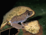 Frog, Amacayacu National Park, Colombia Photographic Print by Thomas Marent