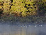 Canada Geese on Lily Pond at Sunrise, White Mountain National Forest, New Hampshire Photographic Print by Adam Jones