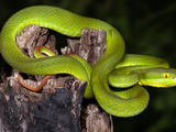White-Lipped Tree Viper (Cryptelytrops Albolabris), Captive Photographic Print by Michael Kern