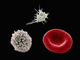 Comparison of Human Red Blood Cell, Erythrocyte, a White Blood Cell, Leukocyte Fotodruck von Stanley Flegler