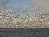 Massive Flock of Snow Geese in Flight, Klamath Basin, Klamath Falls, Oregon Photographic Print by Adam Jones