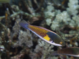 Blueside Wrasse (Cirrhilabrus Cyanopleura), Philippines Photographic Print by David Fleetham
