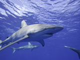 The Galapagos Shark (Carcharhinus Galapagensis) Photographic Print by David Fleetham