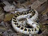 Hognose Snake (Heterodon Nasicus) Showing Defensive Behavior, Captive Photographic Print by Michael Kern