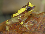 Hourglass Tree Frog (Dendropsophus Ebraccatus), Cahuita National Park, Costa Rica Photographic Print by Thomas Marent