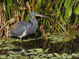 Tricolored Heron, Egretta Tricolor, Everglades National Park, Florida Photographic Print by Adam Jones