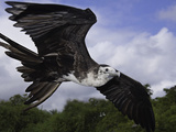 An Young Magnificent Frigatebird (Fregata Magnificens)In Flight over Santa Cruz Island Photographic Print by David Fleetham