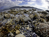 Kelp, Mussels and Barnacles Visible at Low Tide in Howe Sound, British Columbia, Canada Photographic Print by David Fleetham